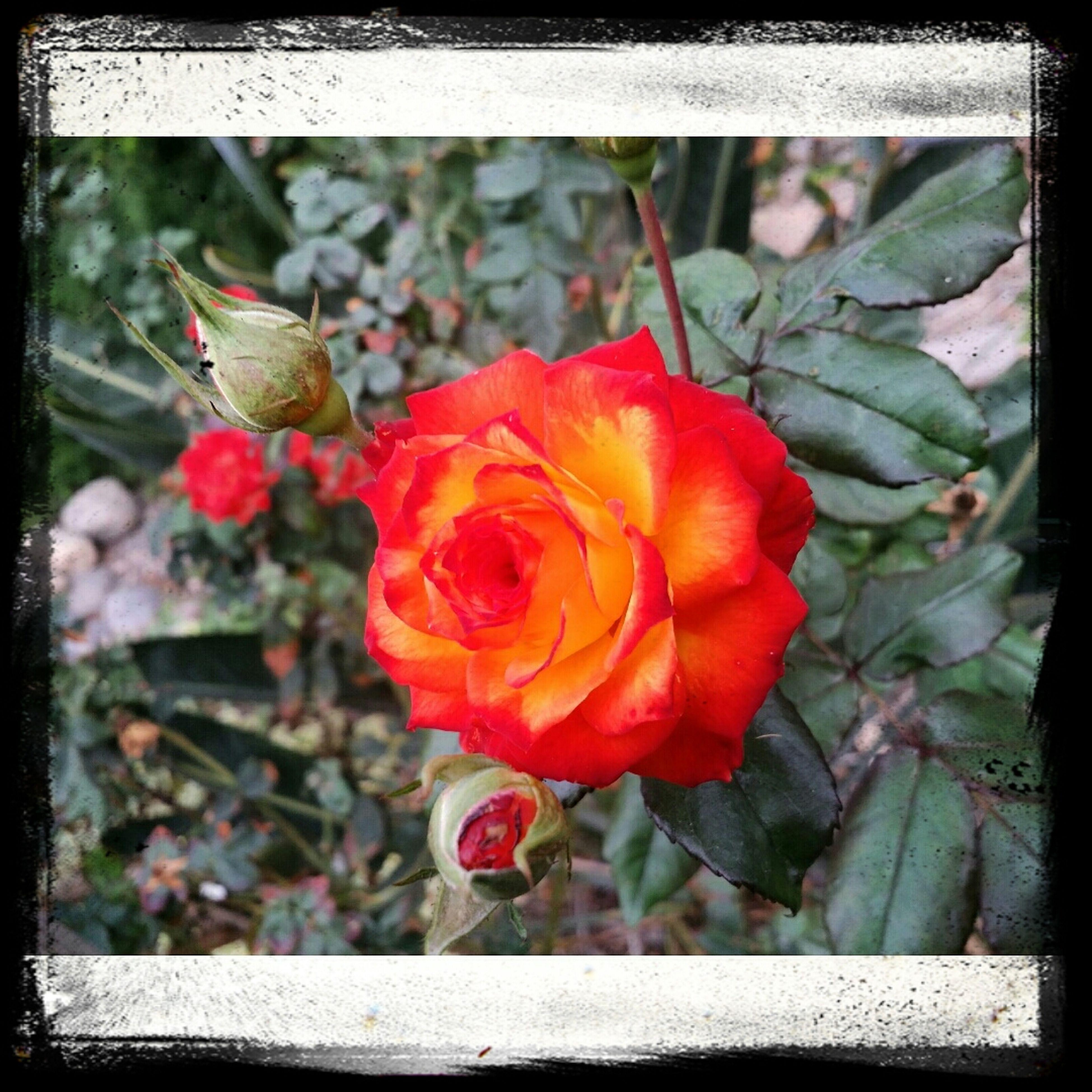 Red Rose? First Eyeem Photo