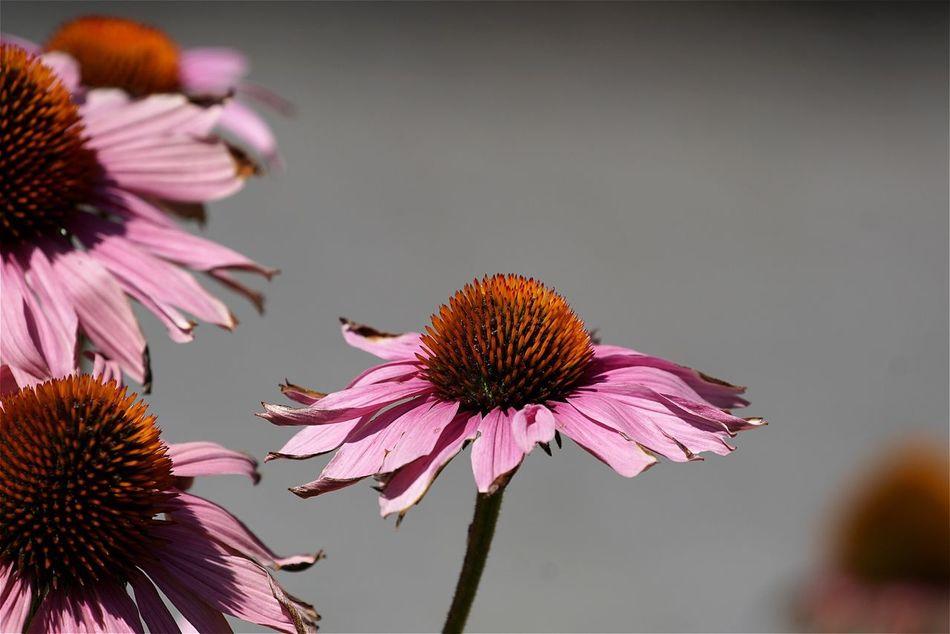 Flower Freshness Blooming Sonnenhut Pink Flower Head Pink Color Open Edit Tadaa Community