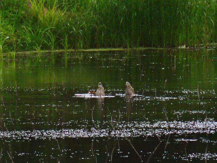 Ducks Headinthewater Shiny Green Color Reflection Lake Grass Water Reflection Nature Lake Outdoors Day Beauty In Nature