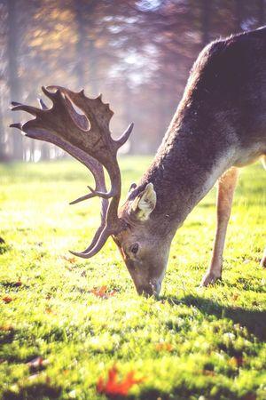 Stag Deer Petzval Lens Autumn
