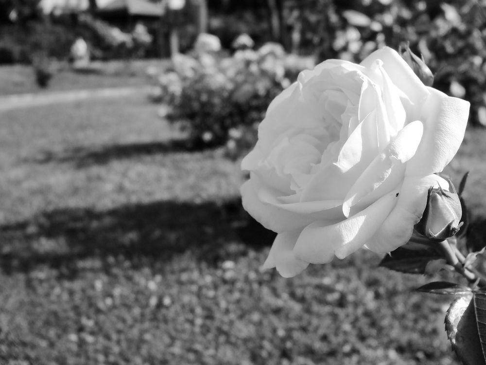 Gardening Flower Nature Roses Garden Romantic Rosa Love Giardino Amore
