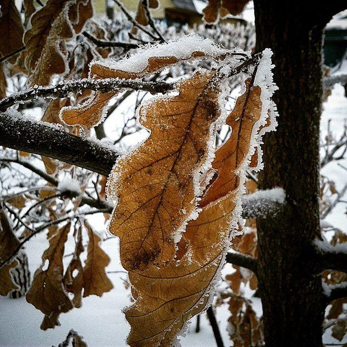 омск сибирь иней дуб зима мороз Морозисолнце снег Omsk Siberia Oak Leaves Hoarfrost Snow Frost Frostandsun Winter
