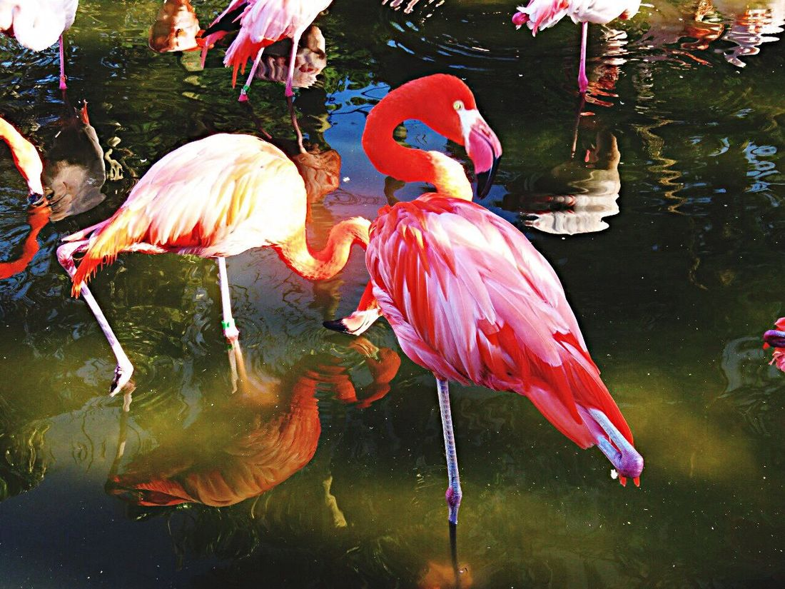 Flamingo Pink Flamingos Flamingos Flamingoes Flamingogardens Flamingo Gardens Birds Bird Bird Photography Animals Animal Nature Nature_collection EyeEm Nature Lover Hanging Out Taking Photos Zoo Zoology Zoo Animals  ZOO-PHOTO