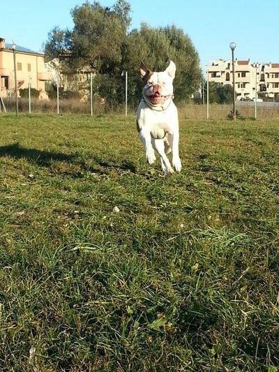Italy❤️ I Love My Dog Bullylove Bellobello Bulldog Americano Wow *-* Ameican Bulldog Italia Bulldog American Bulldog Corri