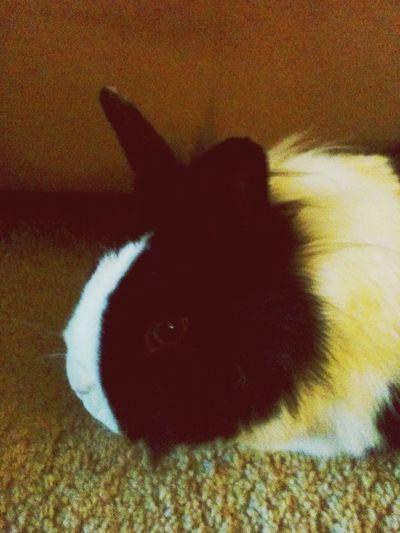 Hase rabbit