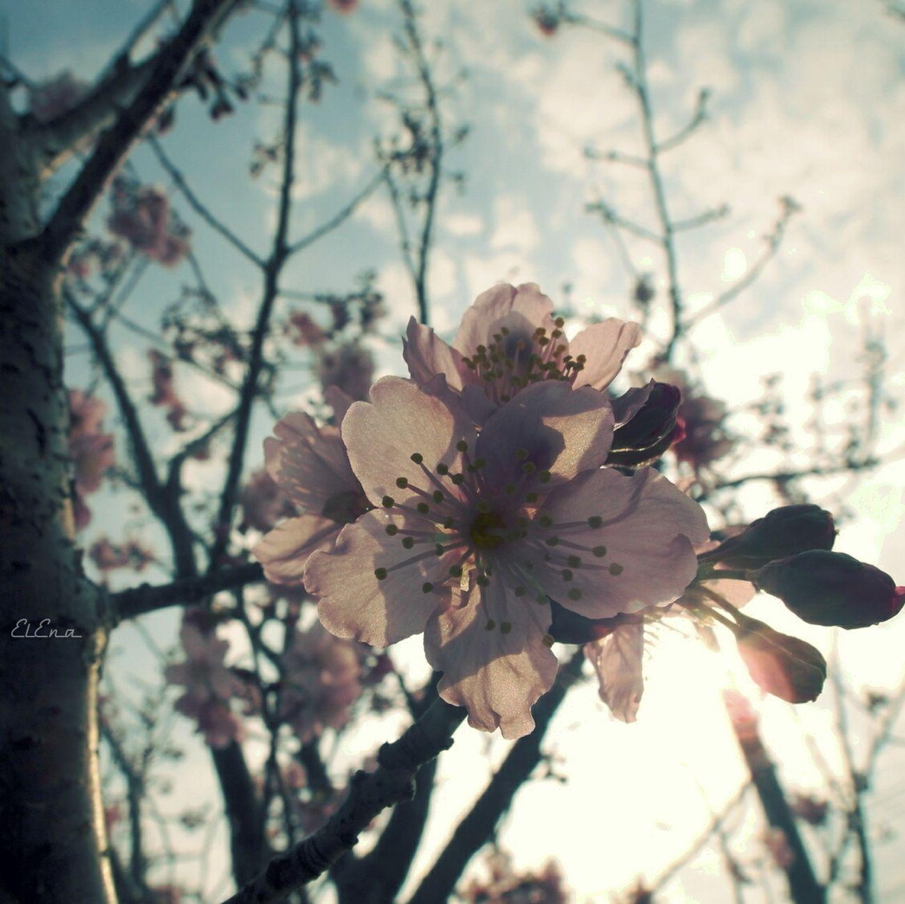 Sakura Backlight Bloom Sunlight