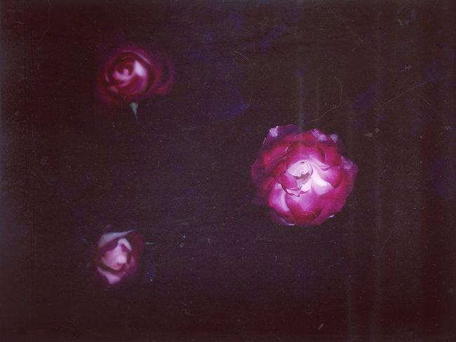 Nightgardens Rosengarten Three Roses In The Dark Afterglow Red Roses