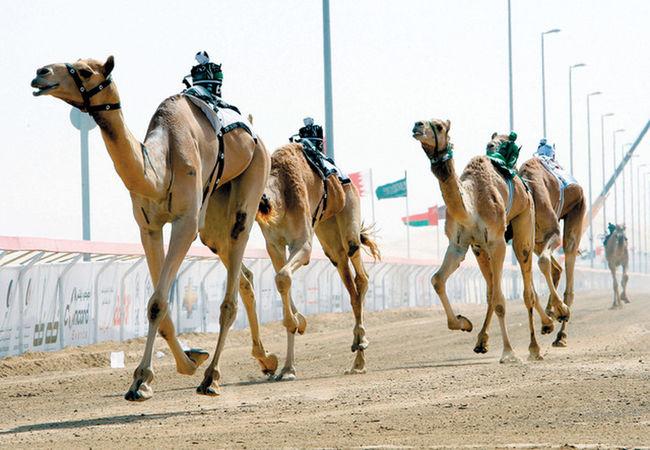 Camel Camel Riding Camel Ride We Love Camels!