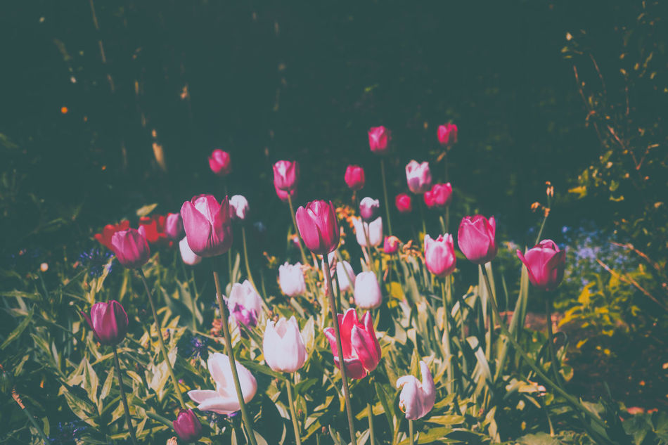 Tulpen Blossoms  Colors Flowers Garden Garden Photography Gardening Retro Colors Retro Style Springtime Tulips Tulipseason