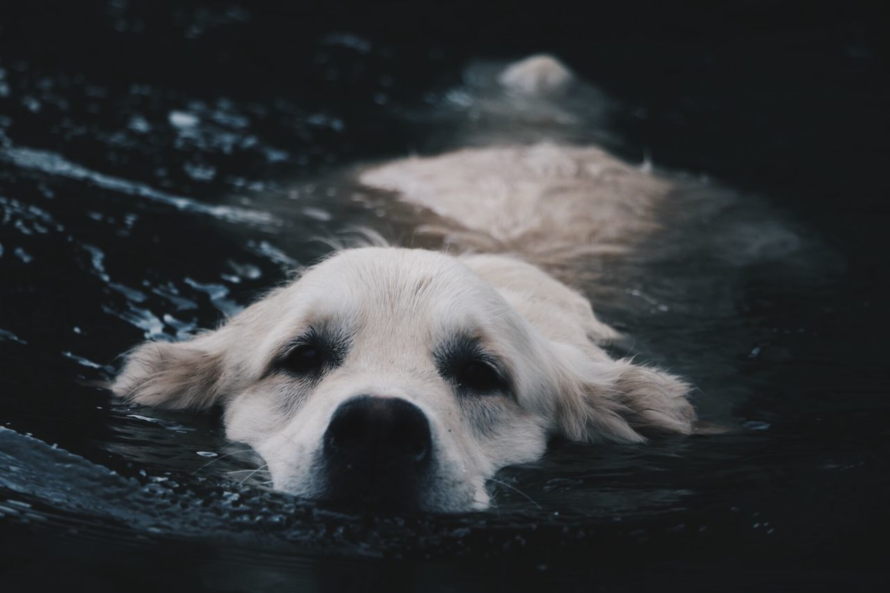 Creative Light And Shadow Golden Retriever Swimming Ghiro Summer Dogs River Nature Dog