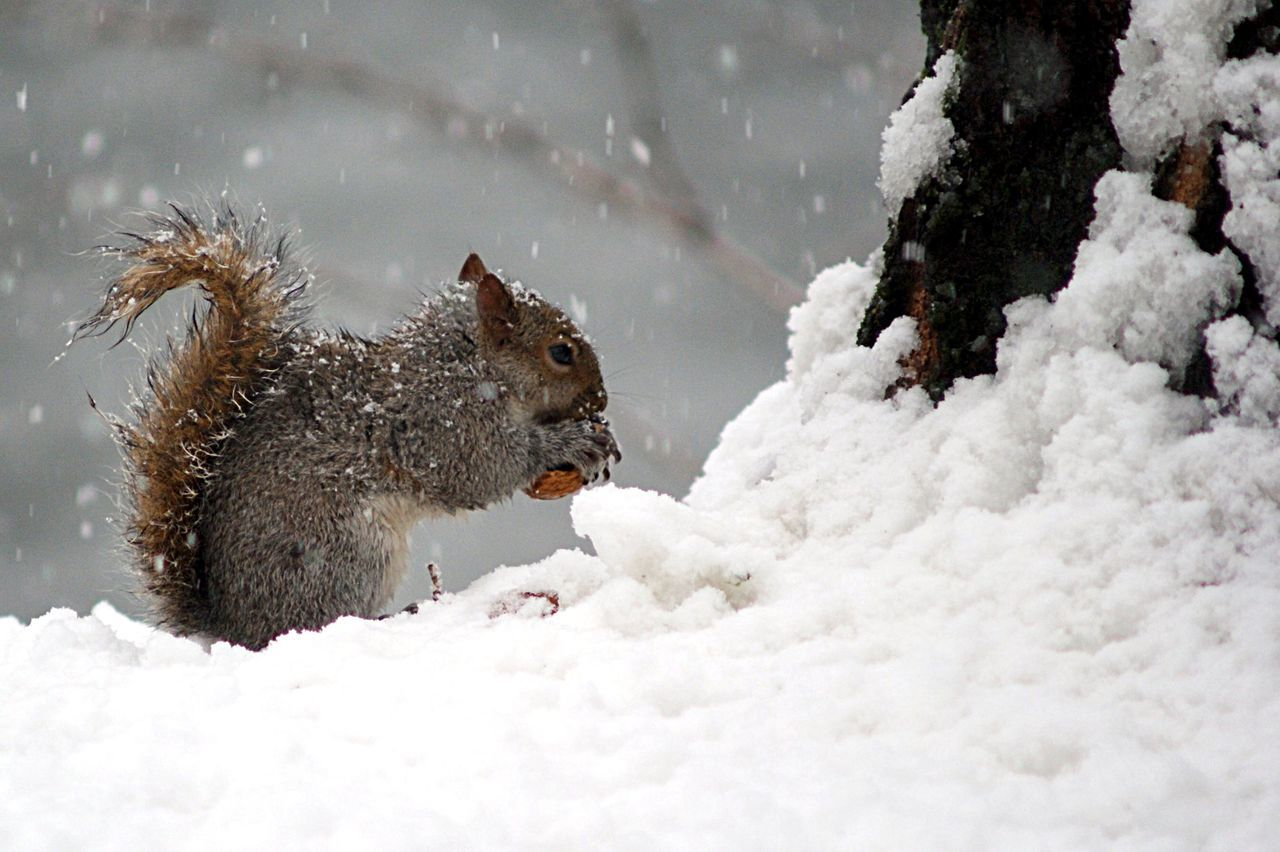 Beautiful stock photos of squirrel, Animal Themes, Animal Wildlife, Animals In The Wild, Cold Temperature