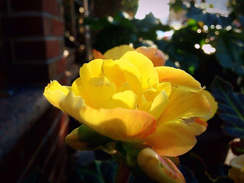 Yellow beauty amongst the bricks. Captured in Long Island City New York. Flower Petal Beauty In Nature Nature Flowers Photography New York City
