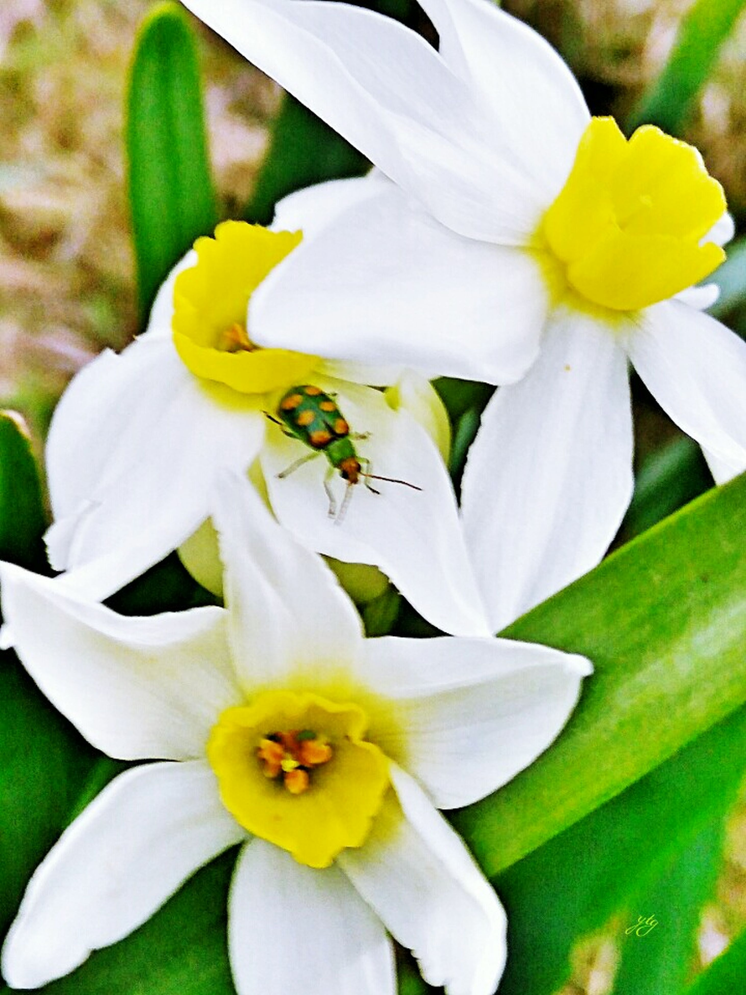 flower, petal, fragility, flower head, beauty in nature, freshness, nature, one animal, growth, animal themes, white color, insect, animals in the wild, pollen, close-up, no people, stamen, day, outdoors, plant, yellow, blooming, bee, pollination, day lily