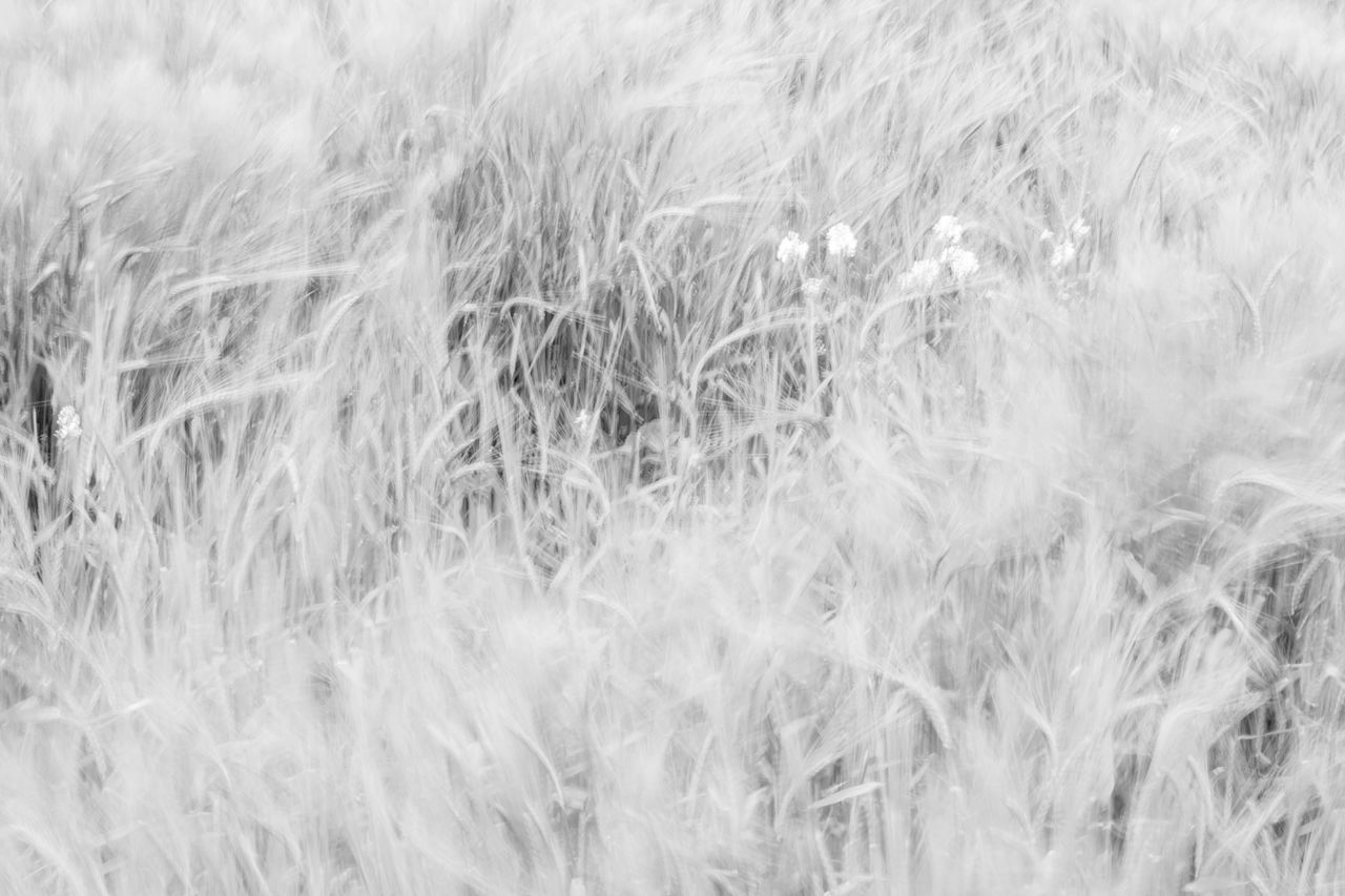 ICM shot of cornfield ICM Intentional Camera Movement Blackandwhite Nature Cornfield Layer De La Haye