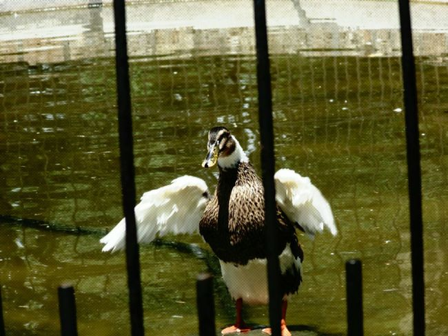 Ducks patos Relaxing Hello World Fuente❤Agua Agua