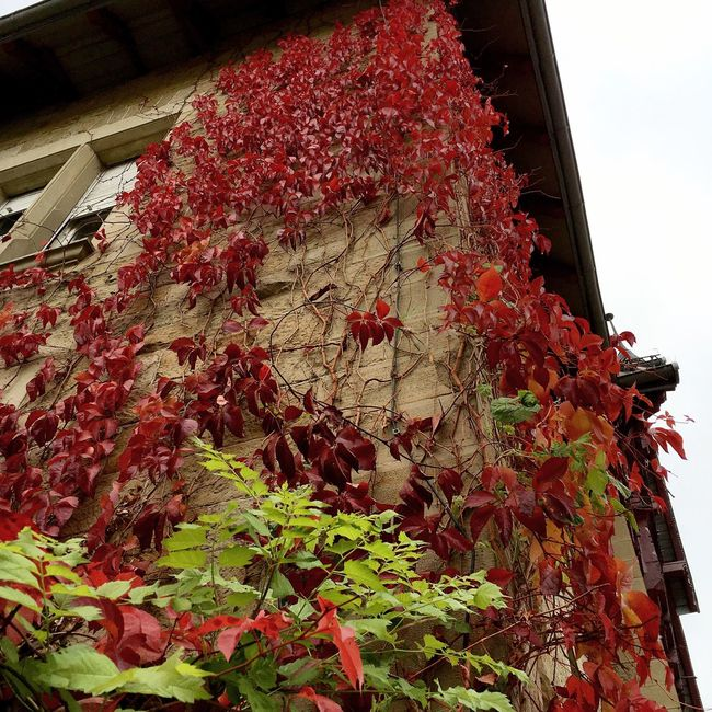 Architecture Branch Building Exterior Built Structure Classical Climber Climbingplant Climbingplants Cobblestone Creeper Darkred  Flower Growth Historic Historical Leaf Low Angle View Nature Plant Red Sky Traditional Tree Twiner Vine