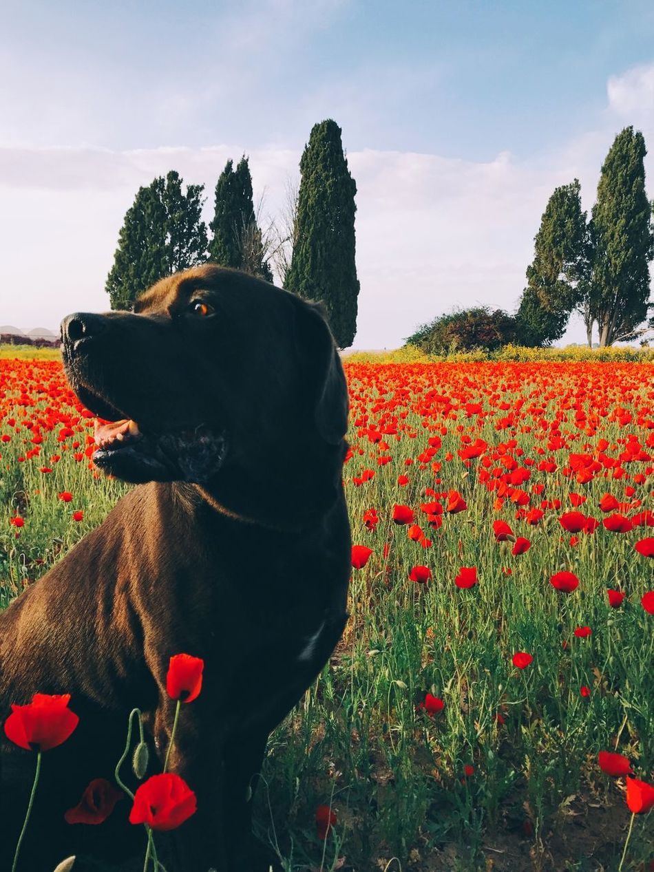 Dog Domestic Animals Nature Flower Pets Sky Animal Themes One Animal Day Field Outdoors Tree Growth Mammal Beauty In Nature No People Red Cloud - Sky Plant Grass IPhone7Plus Shotoniphone7plus מייאייפון7 מייטבע מייכלב