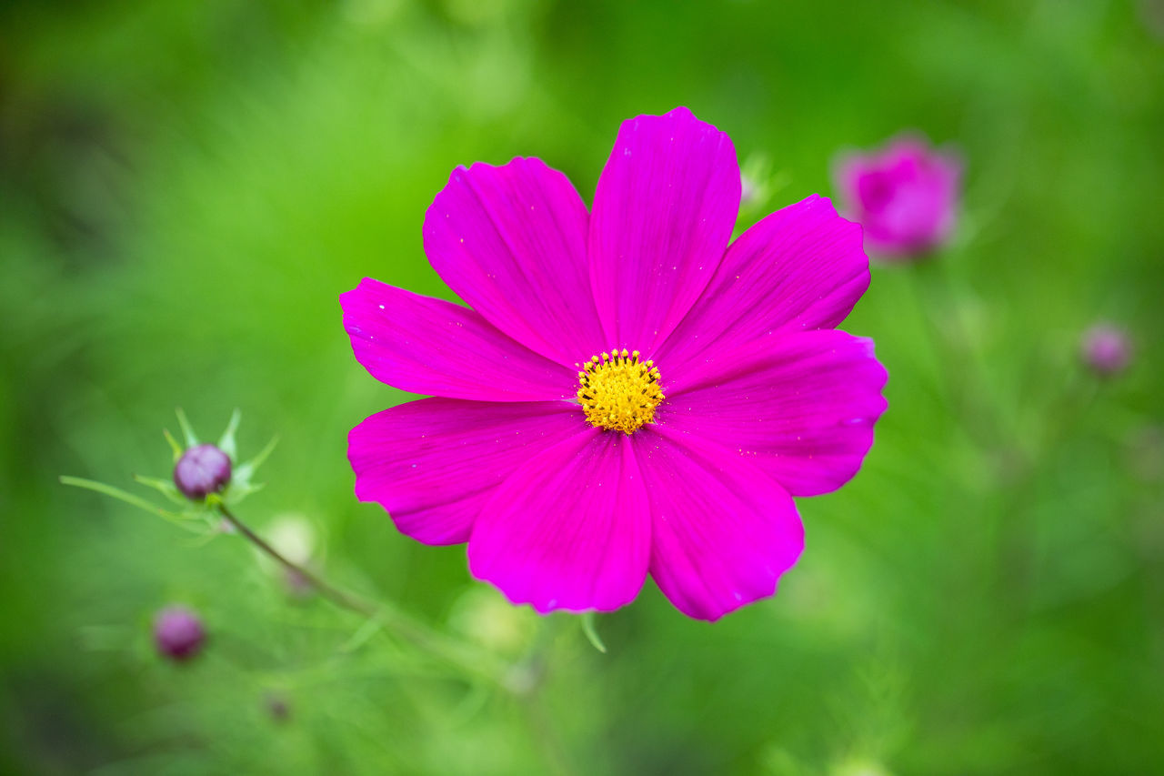 Beauty In Nature Blooming Close-up Colorful Cosmos Flower Day Flower Flower Head Focus On Foreground Fragility Freshness Growth Nature No People Osteospermum Outdoors Petal Pink Color Plant Pollen Summer Zinnia