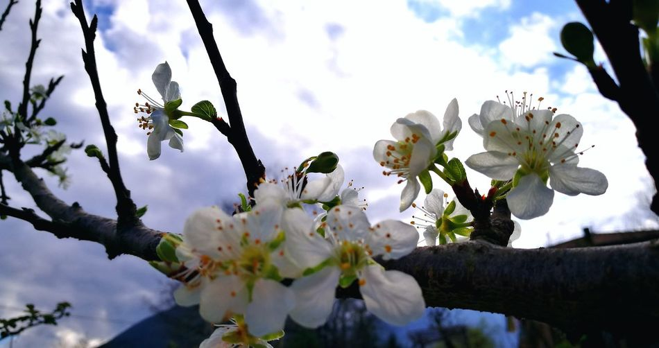 Flower Fragility Nature Springtime Beauty In Nature Close-up No People Cloud - Sky Flower Head Day Tree Outdoors Sky Low Angle View Plant Freshness Growth Branch Primavera In Bilico