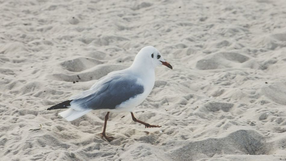....i would walk 500 miles.... Seagull Walking Beach I'm Moving On EyeEm Birds Bird Photography At The Beach