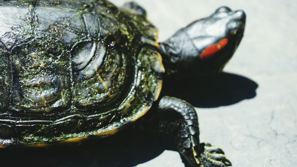 Turtle Tortoise Red Scar Shell Animal Animal Photography Sony A6000