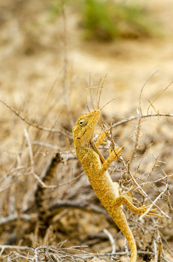 Closeup view of a small yellow lizard in La Guajira, Colombia Animal Animal Themes Animals In The Wild Anole Anolis Colombia Desert Dry Iguana La Guajira La Guajira Colombia Lizard Nature Nature Norops Outdoors Polylepis Punta Gallinas Reptile Scaled South America Tropical Wild Wildlife Yellow