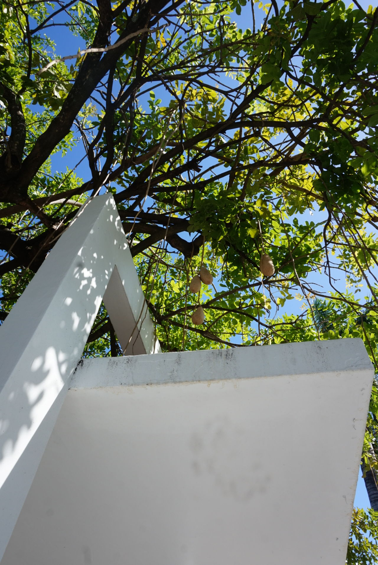 Unedited Tree_collection  Outdoor Photography No People Branch Greenery View From Below Pergola Light And Shadow Dappled Sunlight Sausage Tree Lincoln Road Miami Blue Sky Built Structure