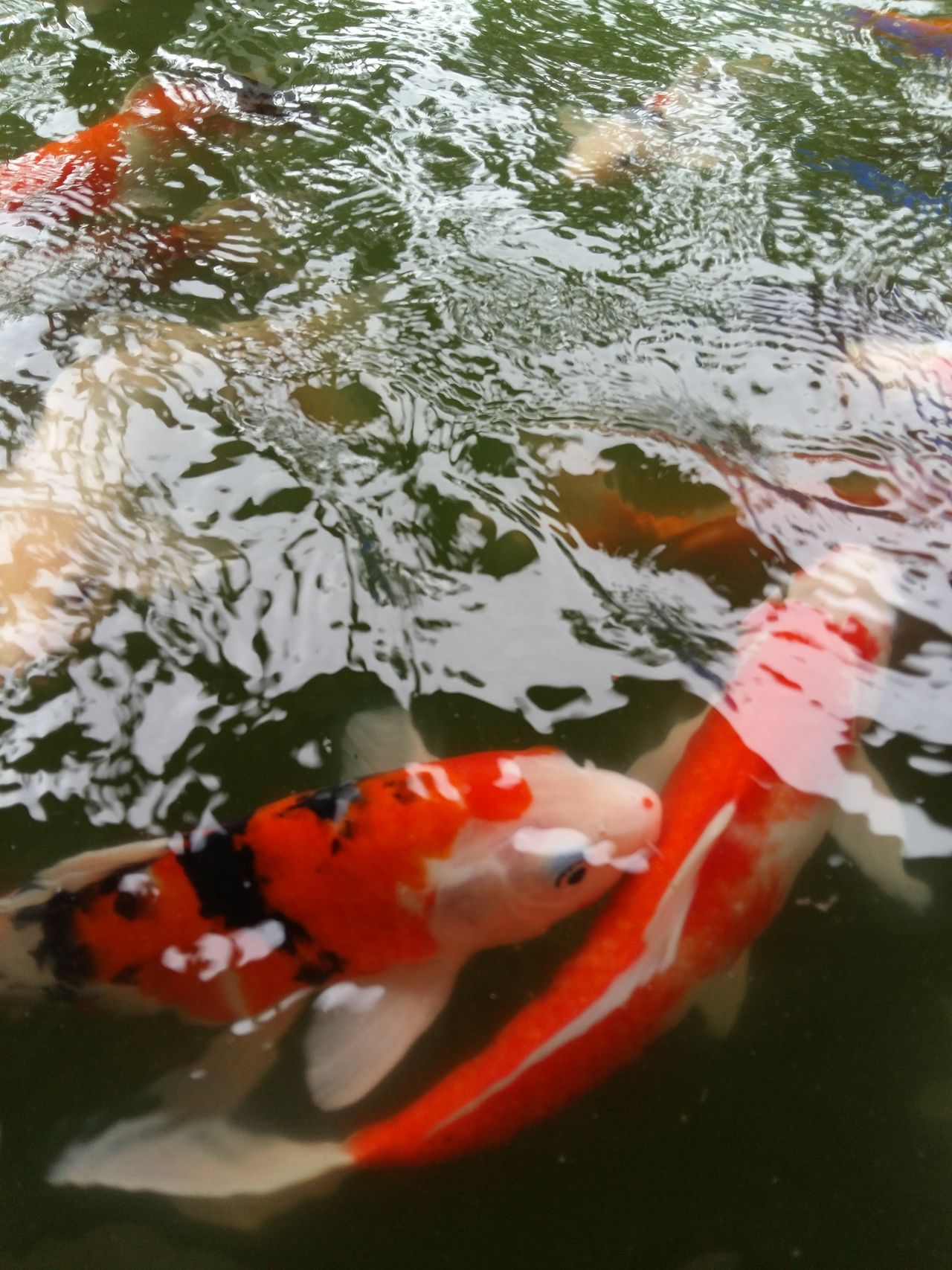 fancy carp in pool First Eyeem Photo Nature Fish Fancycarp Fancy Carp Fish Fancy Carb Fancy Carp