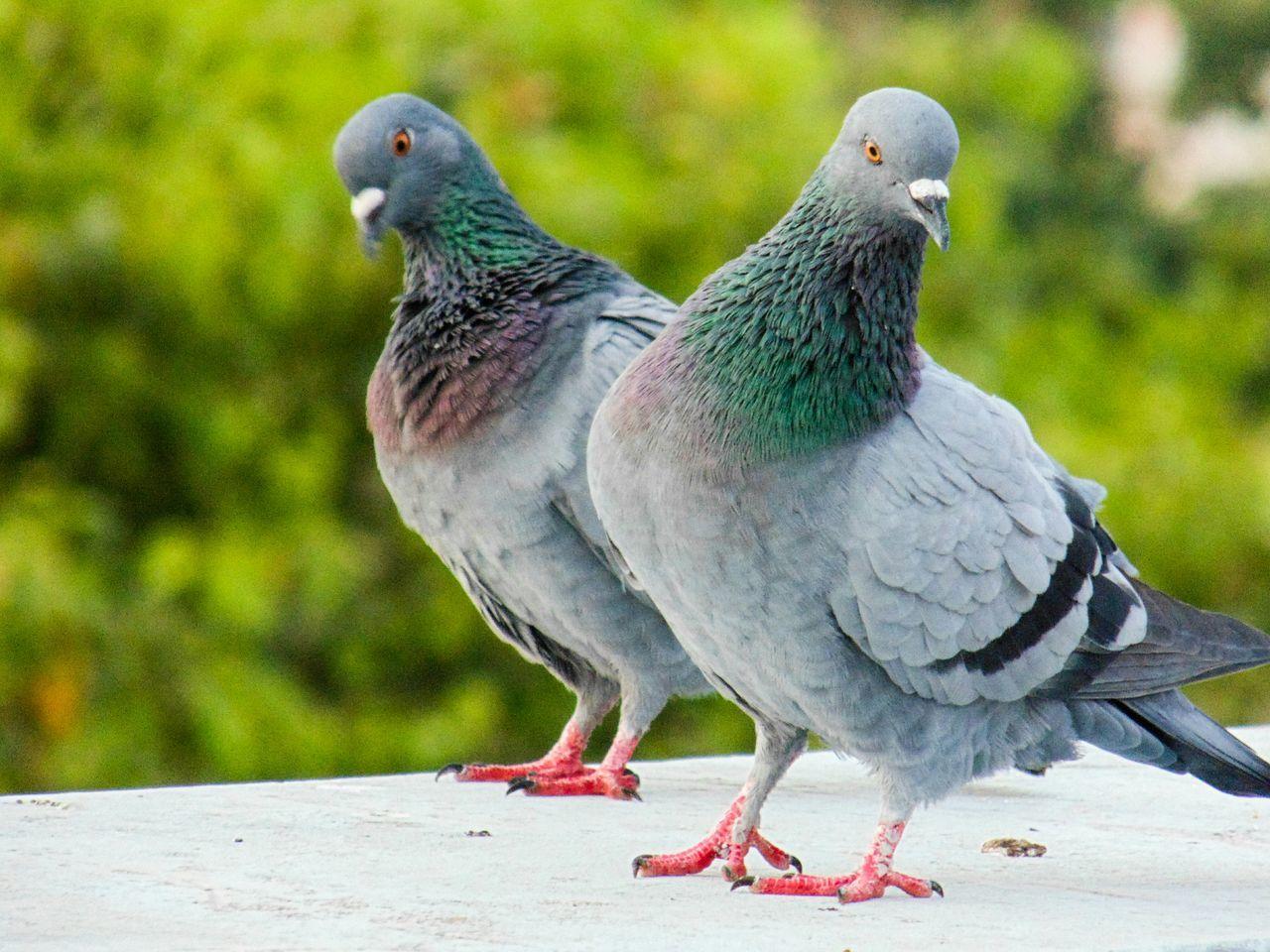 Beautiful stock photos of friedenstaube, bird, animal themes, animals in the wild, animal wildlife