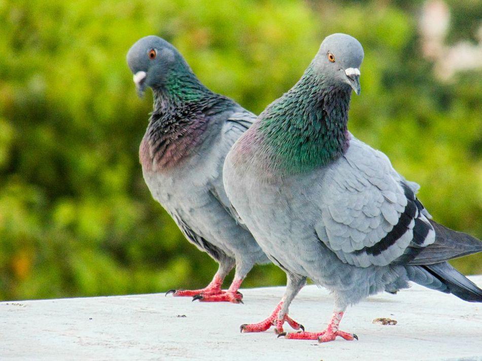 Beautiful stock photos of friedenstaube, bird, animal themes, animals in the wild, outdoors