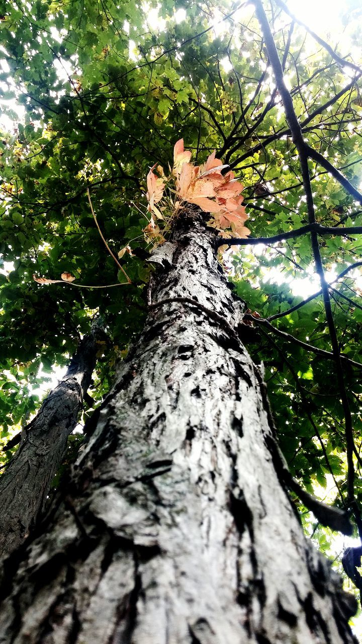 tree, tree trunk, growth, nature, low angle view, day, branch, bark, outdoors, no people, beauty in nature, climbing, forest, woodpecker, sky, close-up