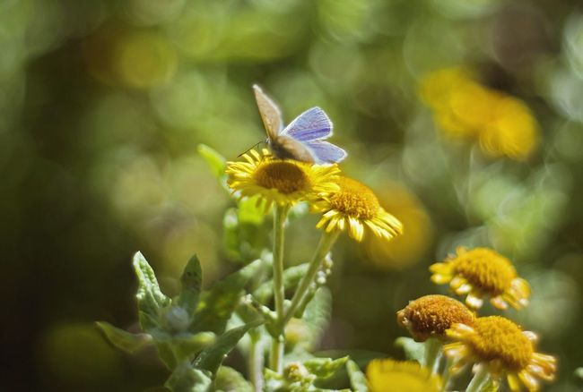 Flower Freshness One Animal Fragility Insect Animals In The Wild Animal Themes Wildlife Petal Growth Beauty In Nature Flower Head Close-up Pollination Plant Focus On Foreground Bee Nature Yellow Symbiotic Relationship Wales No People Nature Common Blue Butterfly Arthropod