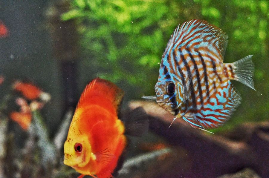 Discus Freshwater Fishgeek Aquascaping Check This Out EyeEm Nature Lover
