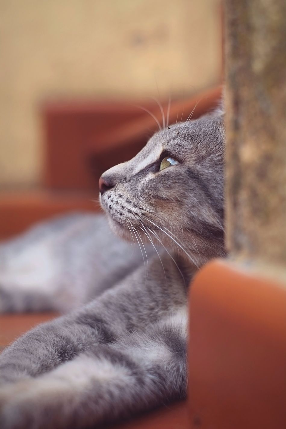 Lost in your eyes Shycapture Pet Animal Themes One Animal Feline Close-up Selective Focus Cat Gray Animal Eye Lookingup Domestic Animals Nature Animal Head  Soul Animals Portrait Portrait Of A Cat