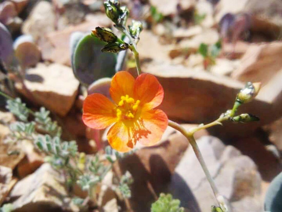 Desertflower Peachflower Beautiful Enjoying Nature Getting Inspired Beautiful Nature Noedit EyeEm Nature Lover Naturelovers Flowers