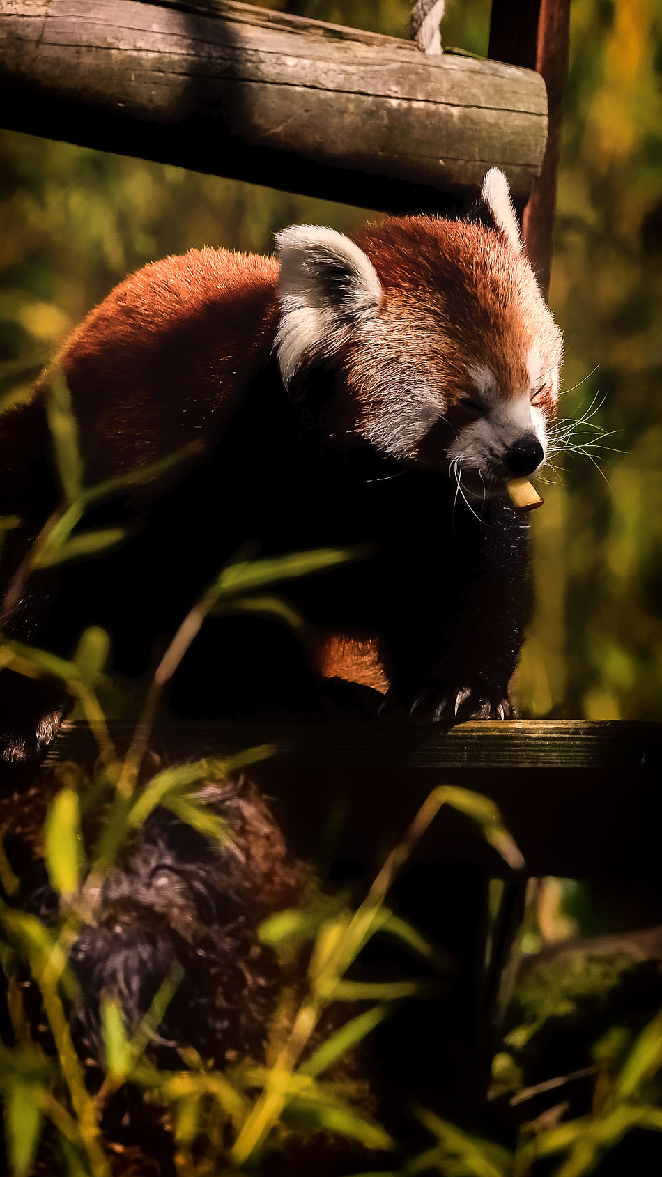 Animal Themes Animals In The Wild Close-up Day Mammal Nature No People One Animal Outdoors Panda Red Panda