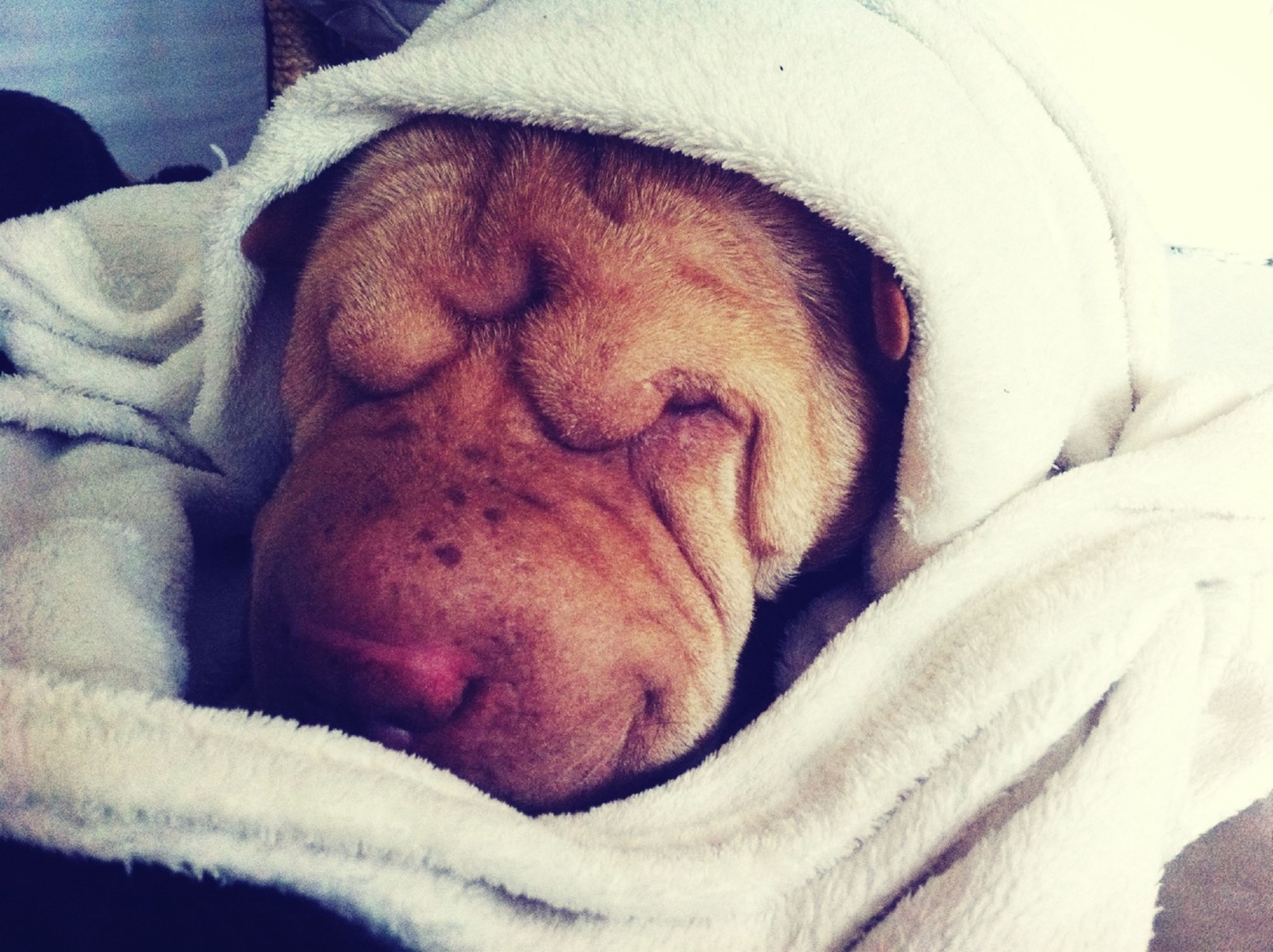 indoors, sleeping, relaxation, bed, resting, pets, animal themes, domestic animals, dog, lying down, one animal, mammal, eyes closed, close-up, high angle view, blanket, comfortable, sheet, home interior, bedroom