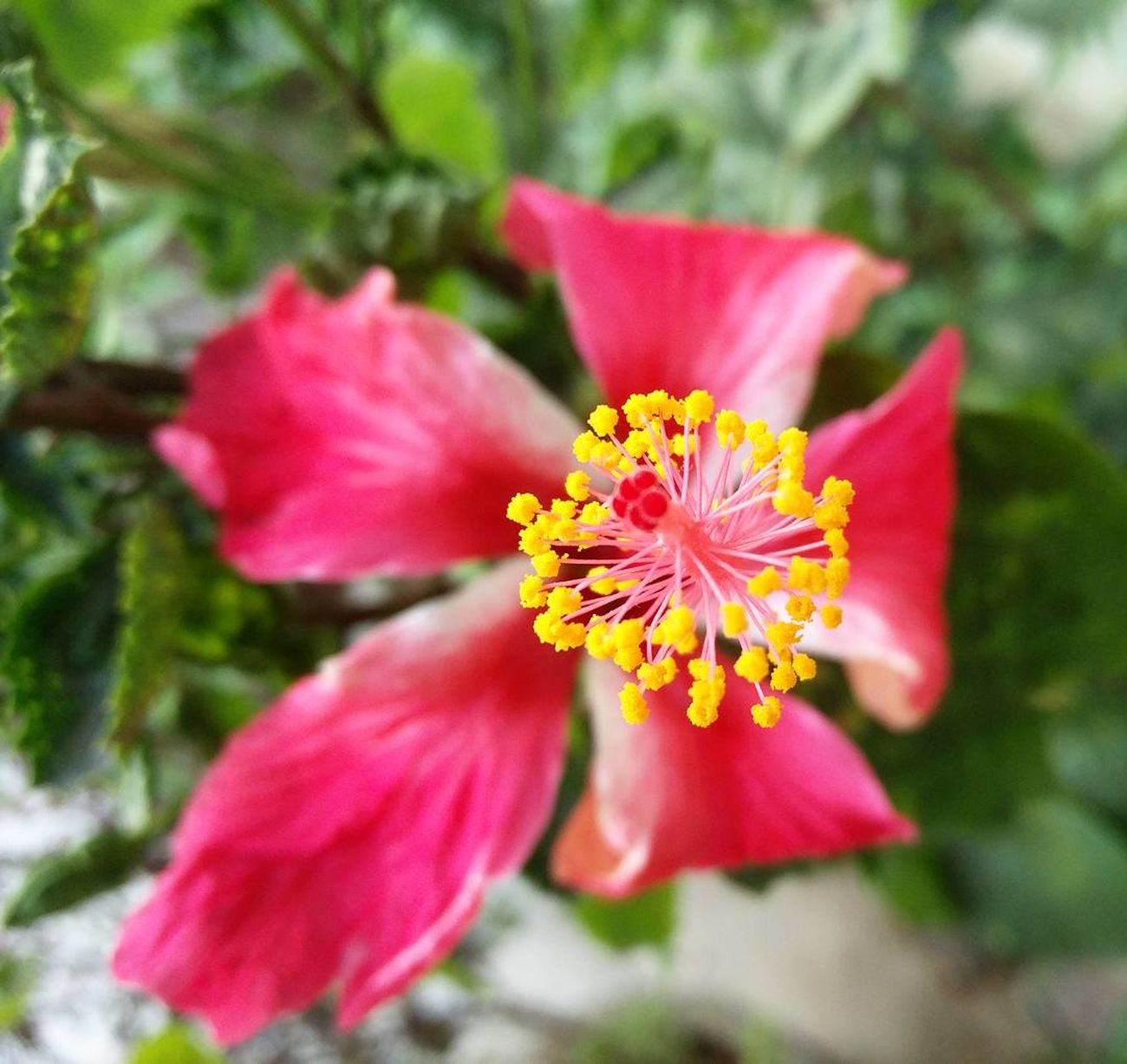 A red and white Hibiscus flower. Flower Petal Flower Head Yellow Fragility Nature Pollen Beauty In Nature Outdoors Day Close-up Freshness Beautiful Details Blurred Background Oneplus2 Colorsofnature Green Growth Hibiscus Hibiscus 🌺 Red Flower