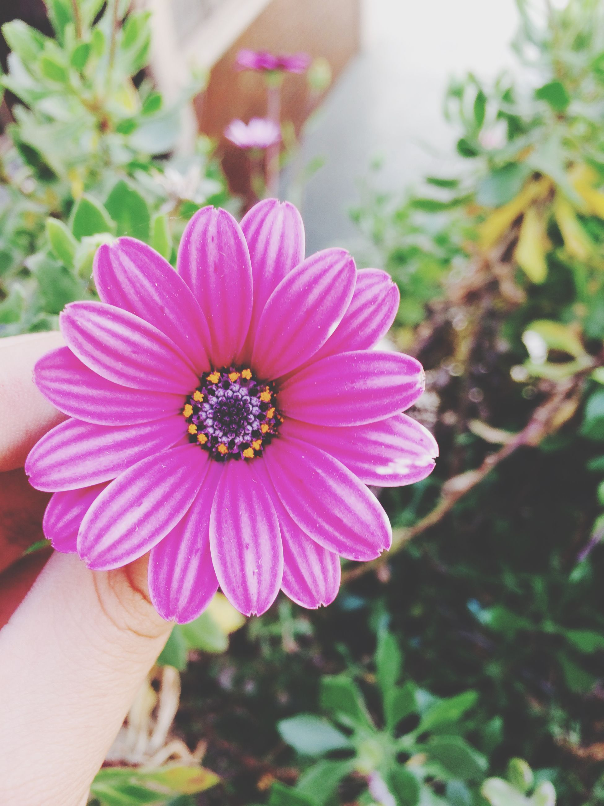 flower, petal, freshness, person, flower head, fragility, holding, focus on foreground, part of, pollen, close-up, beauty in nature, cropped, single flower, pink color, unrecognizable person, blooming