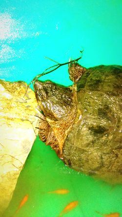 Snapping Turtle Sea Life Nature Water Outdoors No People Animals In The Wild Animal Wildlife PhotosByMickJerzii Newjerseyphotographer Goldfish ByMickJerziiCollection Green Color 2017newphotos MickJerzii GreeLyfe Turtle 🐢 TurtlePower TurtlePics Turtle Island Turtles Swimming Turtles Sunning Turtle Shell Turtlesofinstagram