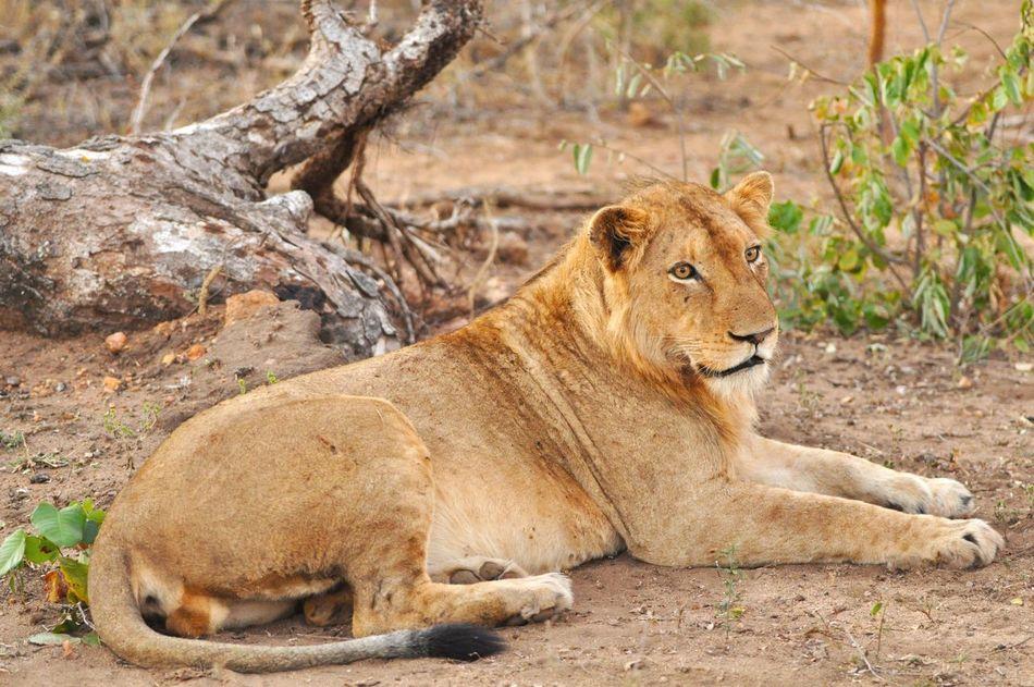 Krüger national Park - Young Male Lion Savannah Lion Africa Safari Africa Wildlife Wildlife & Nature Krüger National Park  First Eyeem Photo