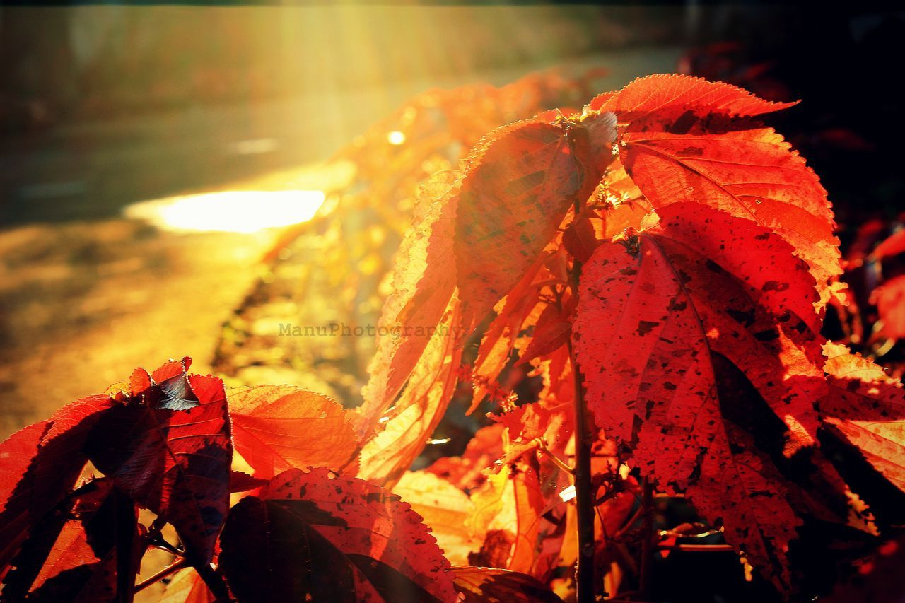 The rays of life... Red Autumn Close-up Nature Vibrant Color Leaf Change Focus On Foreground Outdoors Beauty In Nature Maple Leaf No People Leaves Orange Red Color Day Animal Themes Maple Canonphotography Canon700D Lovephotography  Beauty In Nature Eye4photography  Visakhapatnam EyeEm Best Shots - Nature