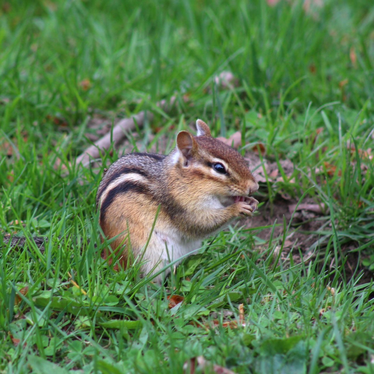 Life in a cemetery. Chipmunk Cemetery Nature Spring New England