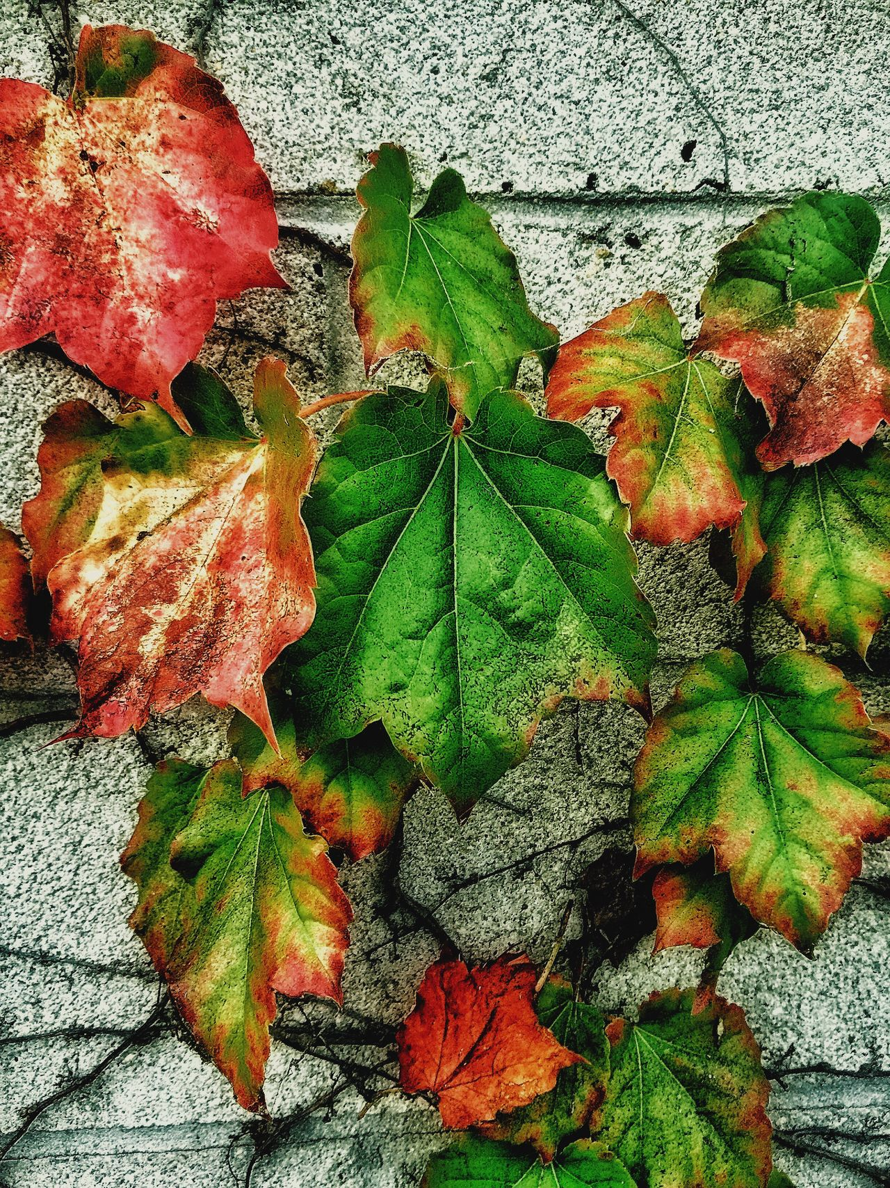 Green ivy will be almost autumn on wall of garage parking .