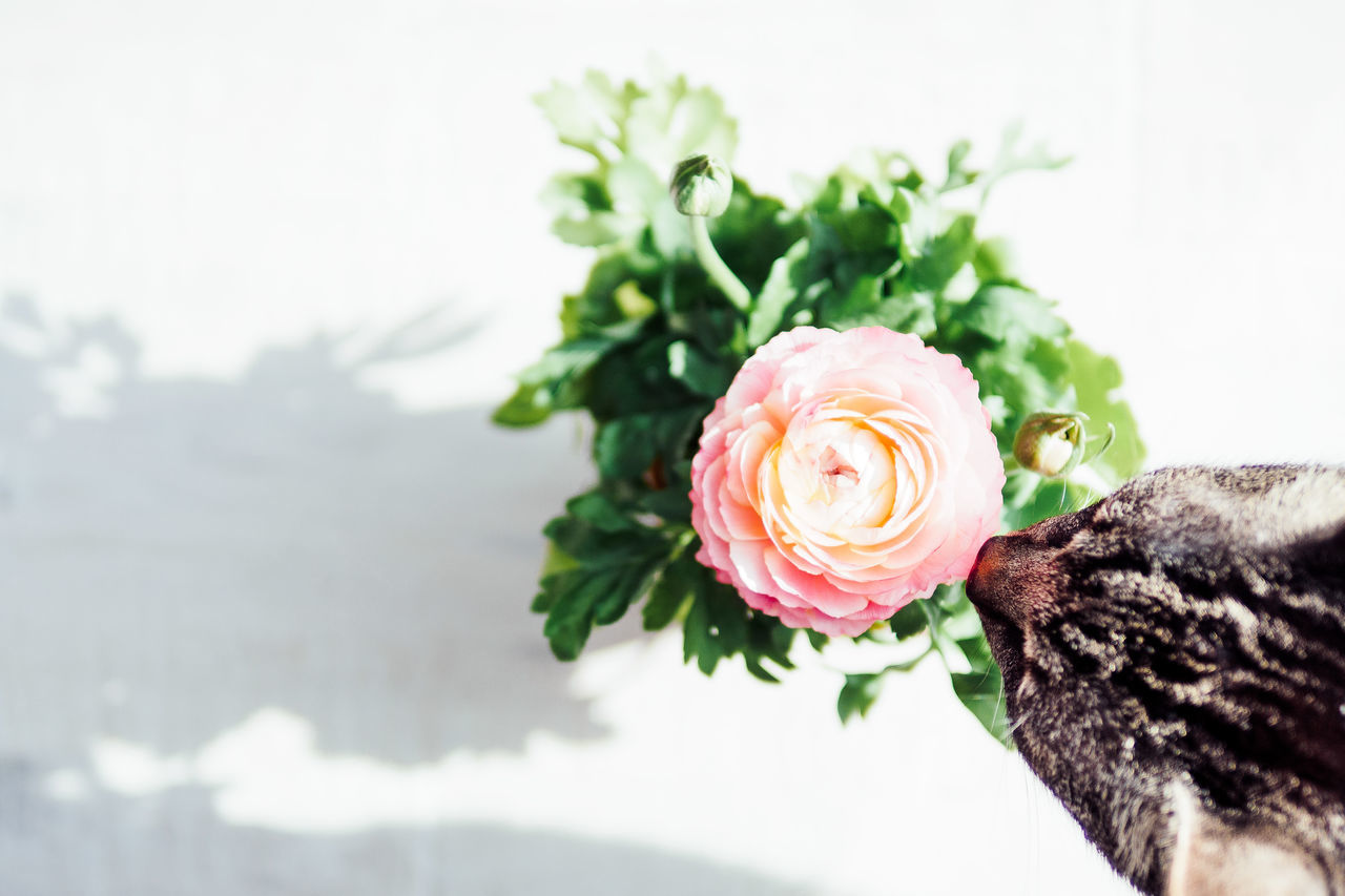 pink (with sniffing cat) Catcontent Beauty In Nature Bouquet Cat Close-up Day Flower Flower Arrangement Flower Head Fragility Freshness Growth Indoors  Millenial Pink Nature No People Pale Pink Petal Plant Rose - Flower