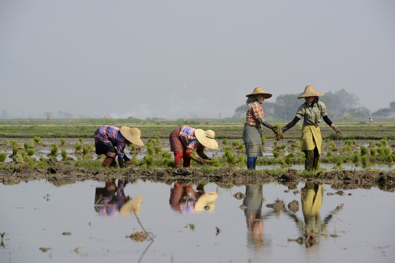 agriculture, farm, field, farmer, occupation, real people, working, crop, men, rural scene, cultivated land, farm worker, rice - cereal plant, women, walking, casual clothing, rice paddy, outdoors, nature, day, manual worker, asian style conical hat, planting, growth, water, sky, people