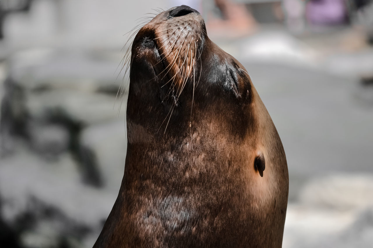 Animal Body Part Animal Head  Animal Themes Animal Wildlife Animals In The Wild Aquatic Mammal Close-up Day Focus On Foreground Mammal No People One Animal Outdoors Portrait Sea Sea Life Sea Lion Seal Seal - Animal Whisker