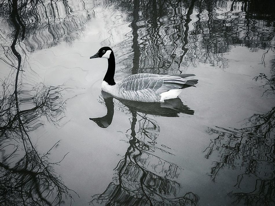 Reflection Lake Silhouette Water Swimming Nature Animals In The Wild Outdoors Day Animal Themes Bird Black And White Goose Waterfowl Wildlife Rippled Water Tree Reflections Rippled Water Reflections From My Point Of View Fine Art Photograhy Beauty In Nature Singular Contrast No People