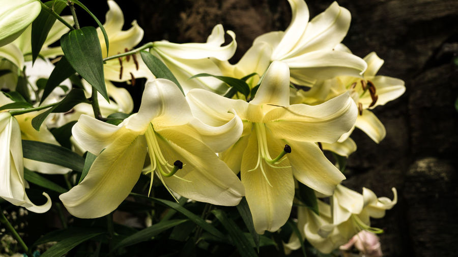 Beautiful Blessed Lilies Lily Nature Nature Photography Plant Beauty In Nature Beauty In Nature Bloom Blooming Blooming Flower Blossom Flower Flower Head Fragility Freshness Garden Garden Photography Growth Lilies Lily Flower Nature No People Outdoors Petal Petals Plant