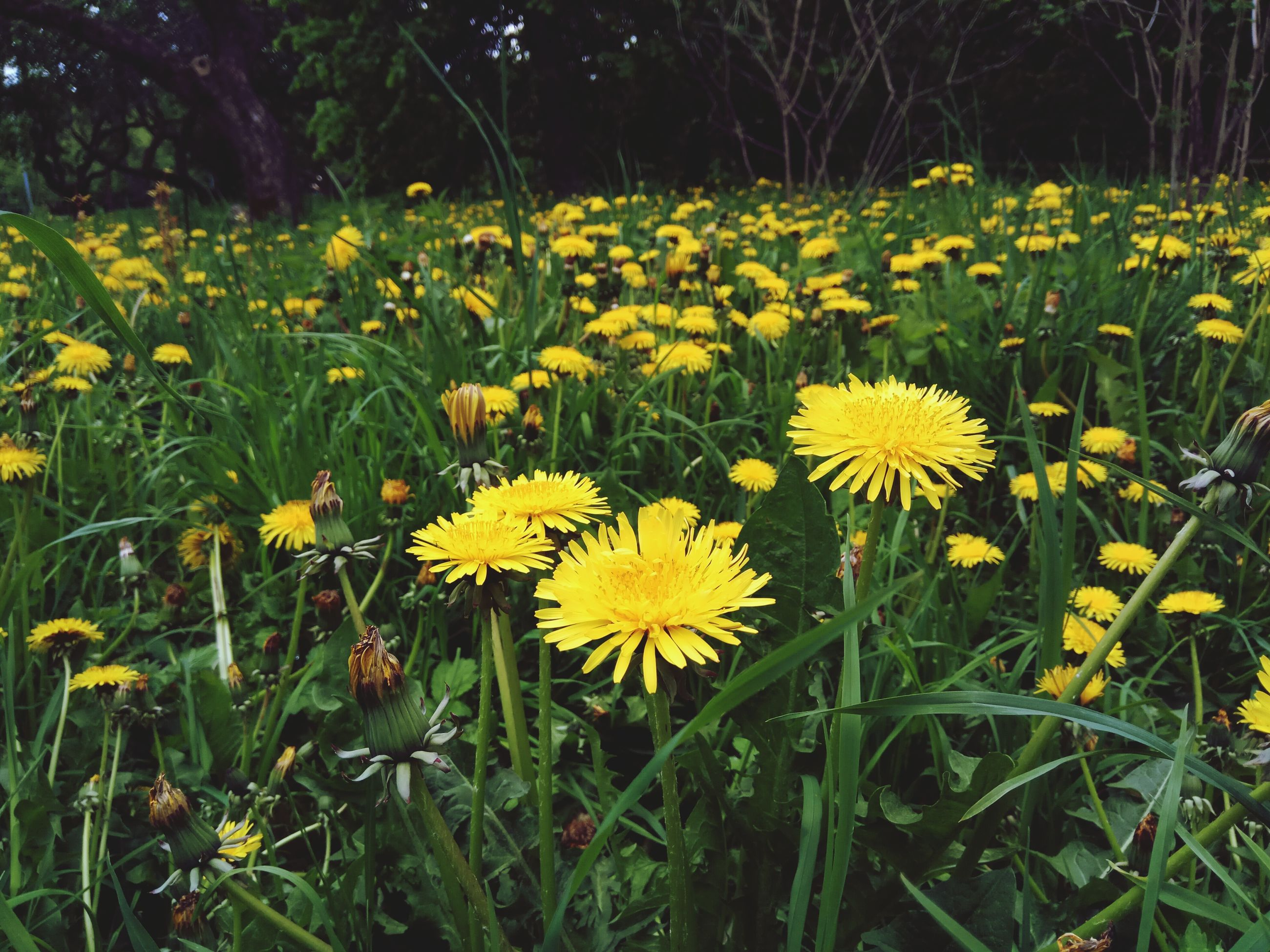 flower, yellow, growth, nature, beauty in nature, field, freshness, fragility, petal, plant, outdoors, grass, no people, day, meadow, flower head, blooming, tranquility, springtime, close-up